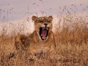 lioness-mother-maasai-mara_83590_990x742