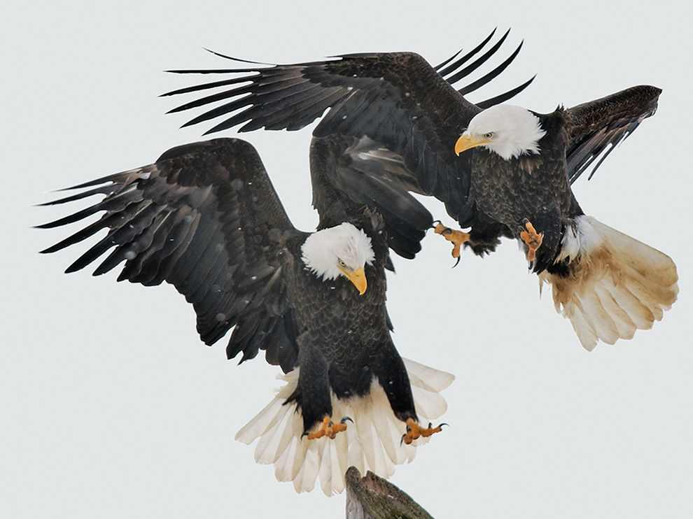 bald-eagles-birds-talons_86760_990x742